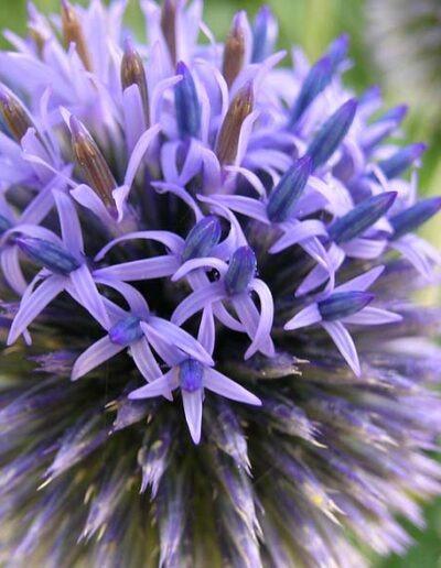 Im Fokus ist eine violette Kugeldistel. Viele kleine Blüten sind in einer Kugelform angerichtet und geben der Blume ihre Form. Dahinter, nicht fokussiert, sind weitere Kugeldisteln.