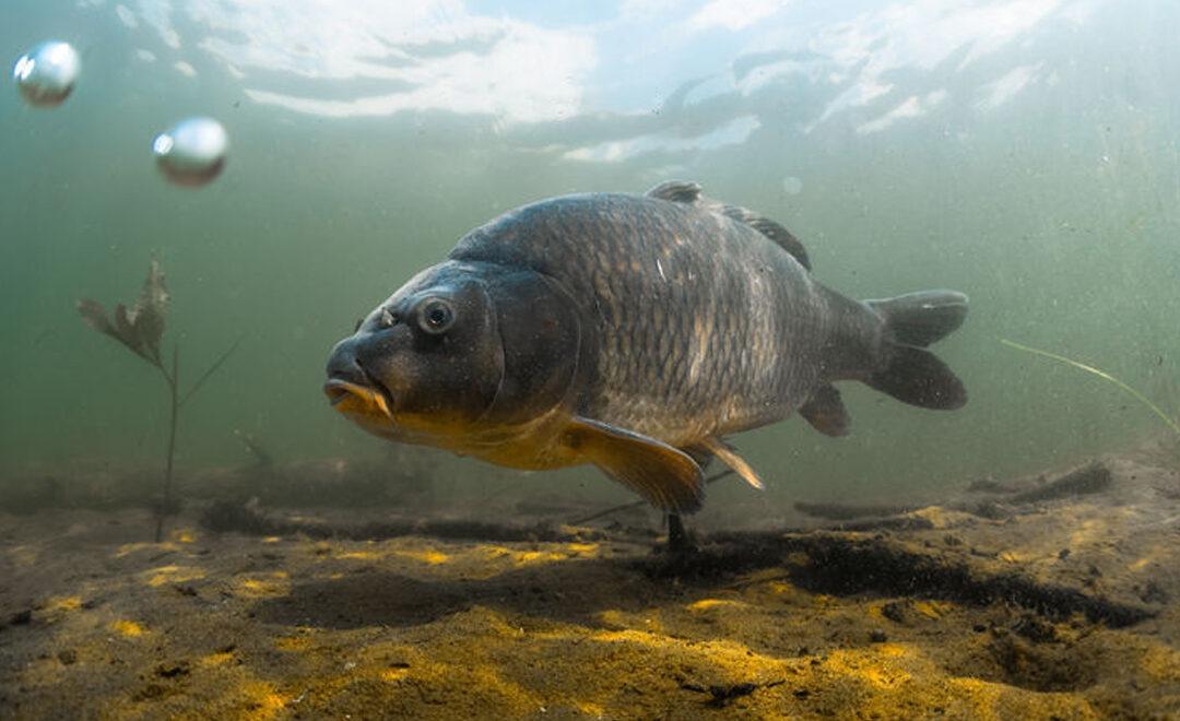 Ein grauer Fisch schwimmt im trüben Wasser am Grund. Zwei Luftblasen steigen auf.